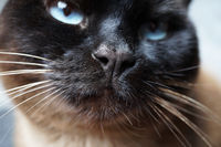 siamese cat nose close-up