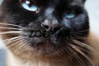 siamese cat nose close-up