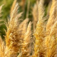 Square Close up view of yellowish brown grasses illuminated by sunlight on a sunny day