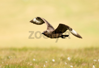 Close up of a Great skua in flight