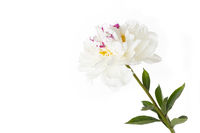 White peony (peony) on a white background