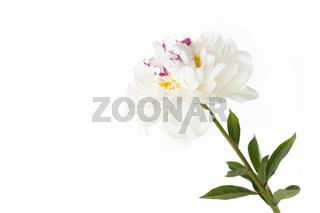 Weiße Pfingstrose (Päonie) vor weißem Hintergrund