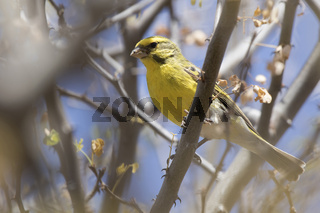 White-bellied Canary that sits hurting dry branches in the bushes in the dry season