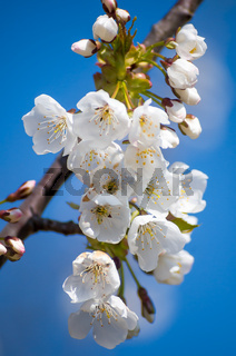 Branch of flowering cherry wood. White petals of a flowering cherry.