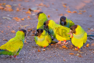 Nanday Parakeets, Aratinga Nenday, also known as the Black-hooded Parakeets or Nanday Conure, Pantanal, Brazil