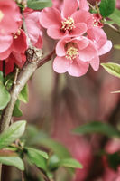 scene of a flowering quince