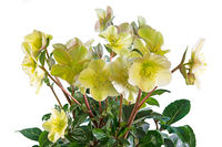 Closeup of an isolated yellow christmas rose flower