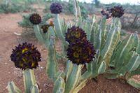 Caralluma speciosa cactus blooming, Omo valley, Ethiopia