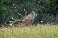 Red deer stag laying down and roaring on meadow with flowers in rutting season