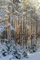 Trunks of pine trees in the forest after snowfall, close-up