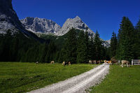 Austria, alps, Mieminger mountains, grazing cows