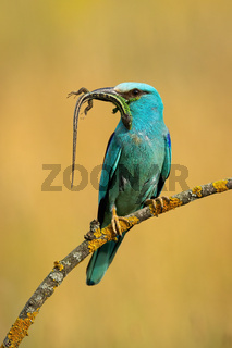 Front view of european roller sitting on perch holding prey in beak in summer