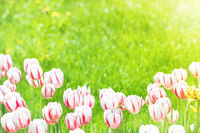 Beautiful tulips with green grass