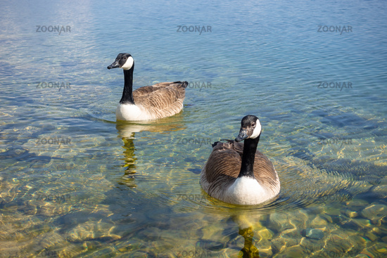 canadian geese at Tutzing Starnberg lake Germany