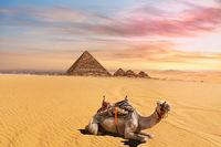 Cute camel in front of the Menkaure Pyramid complex, Giza, Cairo, Egypt