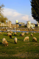 Sheep on the Rhine meadows