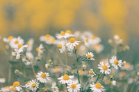Chamomile field flowers