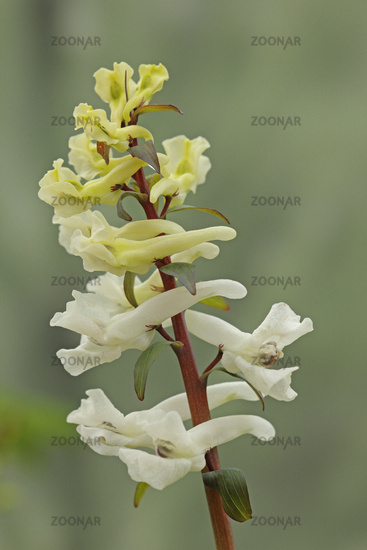 Hollowroot-birthwort (Corydalis cava)