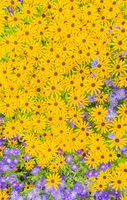 blue and yellow flowers, top view