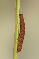 Olive crescent caterpillar
