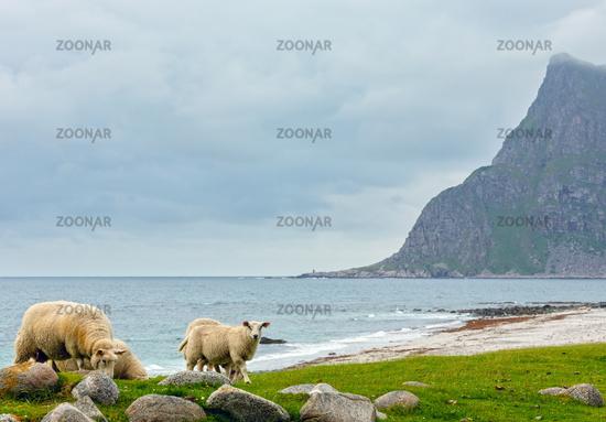 Summer Haukland beach and sheep flock, Norway, Lofoten