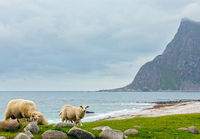 Summer Haukland beach and sheep flock, Norway, Lofoten