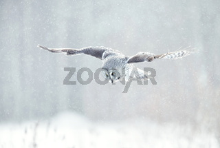 Close up of Great grey owl in flight in winter