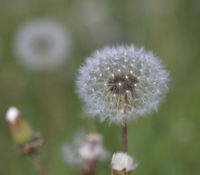 White fluffy dandelions, natural green blurred background