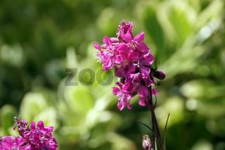 Gewöhnliche Pechnelke (Silene viscaria)