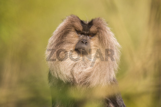 Portrait of Lion-tailed Macaque, Macaca silenus, monkey from tropical forest.