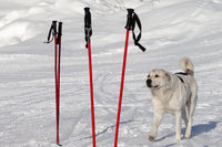 Dog and two pair of ski poles on snow ski slope