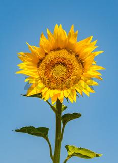 Sunflower over blue sky background
