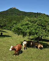 cow pasture; herd of cows; Germany; castle Hohenzollern;