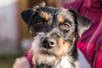 attentive little dog is held - portrait of a terrier