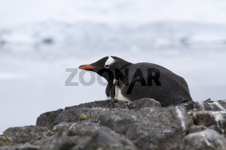 Gentoo Penguin that lies on a cliff on the shore is protected in the Antarctic by a summer overcast day