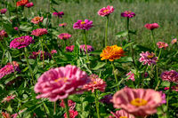 Summer beautiful flowers of zinnia . Floral natural layout for your ideas.