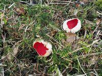 Scarlet elf cup, Sarcoscypha coccinea
