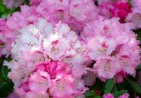 Pink flowering Rhododendron bush