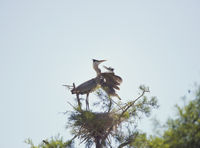 Great Blue Herons in the nest