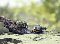 Florida turtles sunning in wetlands