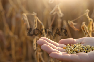 Harvest ready soy beans in human hand on dry pods background evening sunset time. Space for text