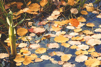 Fallen from the trees, the leaves on the surface of the water in the lake.