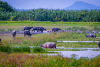 Heard of water buffalos on Songkhla lake