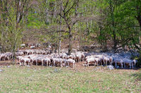 Herd of grazing sheep