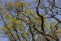Eiche_Quercus