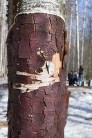 Birch tree without birchen bark