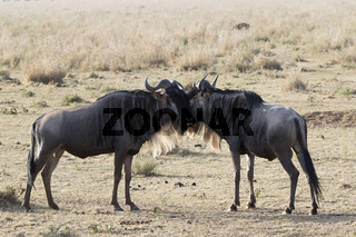 Two young male White bearded Wildebeest that stand muzzle to face in the African savannah
