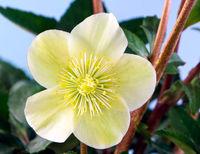 Macro of a christmas rose flower blossom