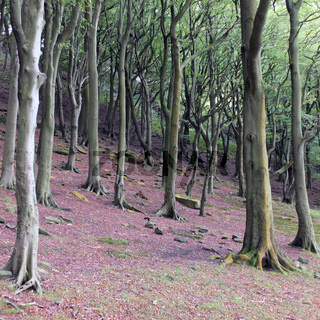 beech woodland on a steep slope with red forest floor in yorkshire england
