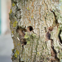 Trunk of the first ash tree damaged by the Asian longhorned beetle in Magdeburg in Germany
